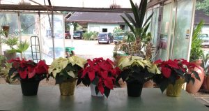 Kauai grown Poinsettias at KNL