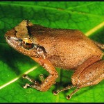 Coqui-frog-on-a-leaf