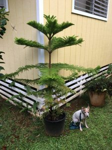 My Norfolk Pine today! Over 5' tall. Still using the same tree, and got a couple more years to go!