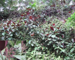 Miconia stand in Big Island forest - Photo: Forest & Kim Starr