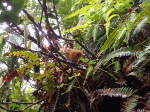Native forest bird - Elepaio. Habitat restricted to >1000m due to mosquitos