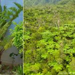 australian tree fern planted beside house and aerial view invading forest
