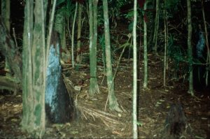 Miconia understory in Maui forest