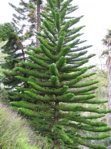 Hawaiian style Christmas Tree - Norfolk Island Pine Photo by Forest & Kim Starr
