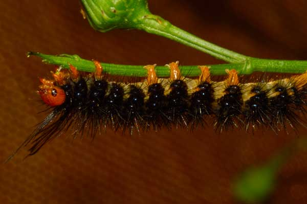 Fireweed moth caterpillar - photo courtesy HDOA